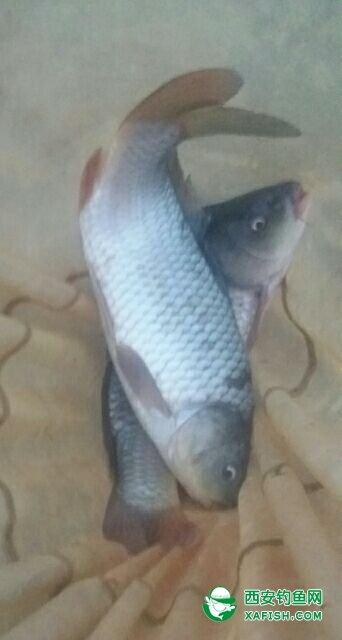 选择长子线或半飞铅钓法,可以延缓饵料下落速度、是钓饵裸露或轻触于水底降层之上!